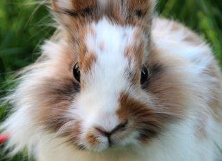 malattie della sfera riproduttiva del coniglio