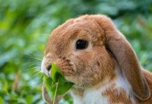 comportamenti avversi del coniglio