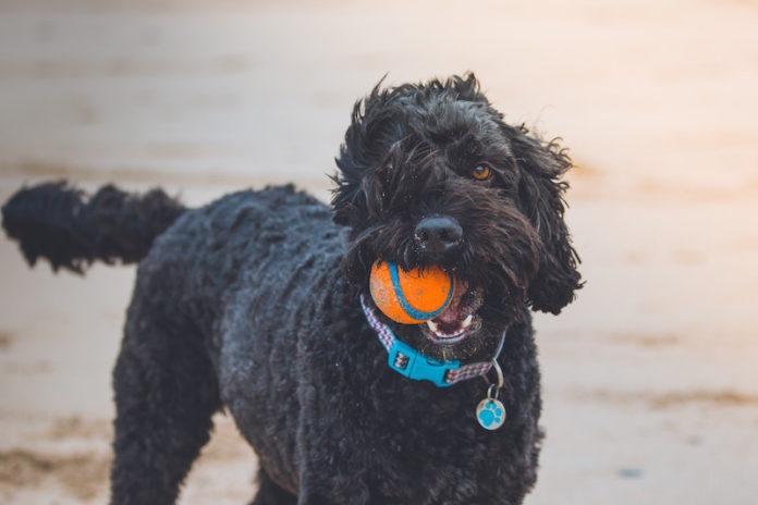 insegnare al cane come giocare