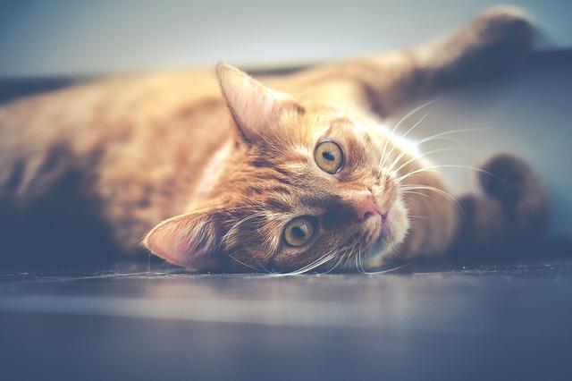 ipertensione-felina