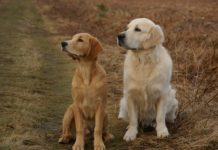 patologie ortopediche_golden retriever