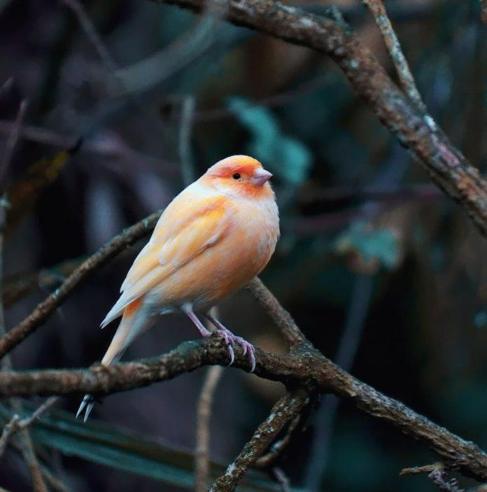 clamidiosi negli uccelli