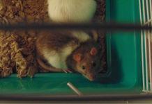 ratto domestico
