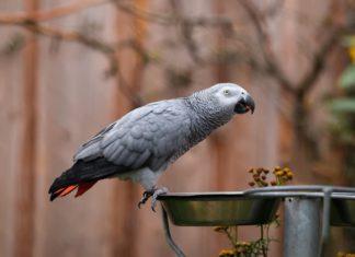 dieta ideale per un pappagallo cinerino