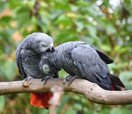 il pappagallo cinerino