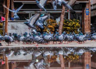 allevamento dei colombi