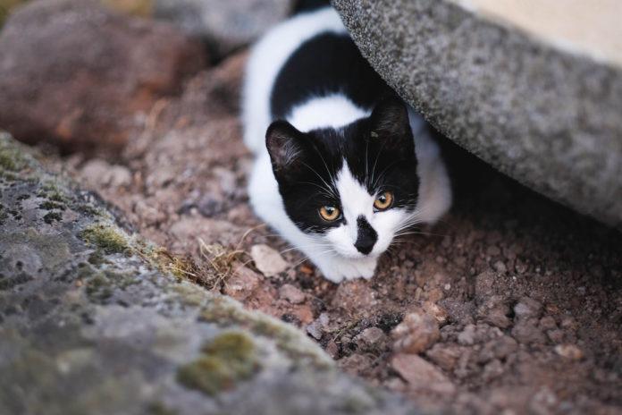 comportamento di caccia nel gatto