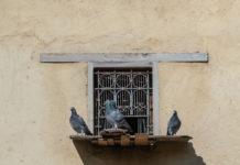 razze di colombi