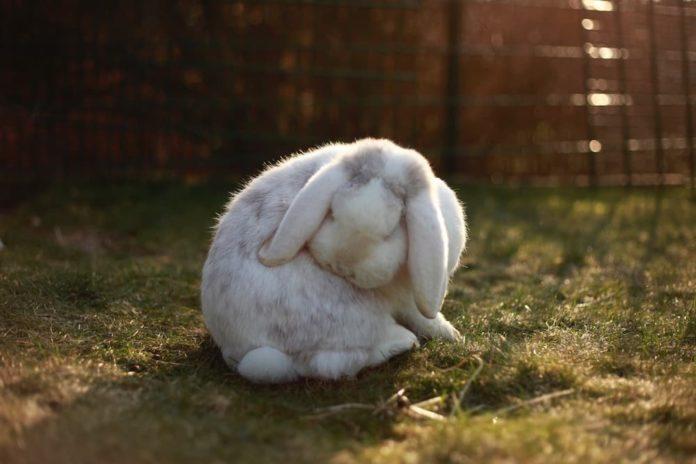 coniglio vive all'esterno in inverno