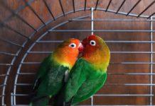 dieta dei pappagalli inseparabili