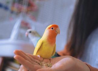 giochi per i pappagalli inseparabili