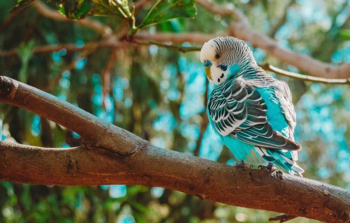 fegato grasso negli uccelli