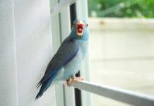 pappagallino del pacifico