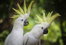 pappagallo allevato a mano