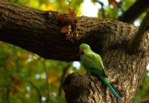 problema epatico negli uccelli