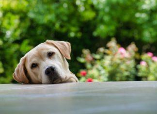 cani sono empatici