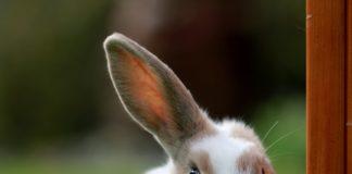 coniglio e covid-19