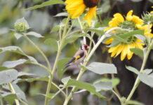 Cardellino-su-girasoli-giardino-di-casa-foto-di-Emanuela-Redaelli
