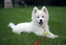 adenoma ghiandole circumanali cane 2