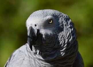 aspergillosi negli uccelli