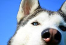 cane-con-occhio-rosso-le-cause-di-arrossamento-oculare