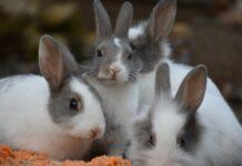 il-coniglio-può-prendere-le-pulci