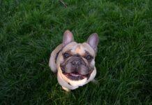 bulldog francese e fratture