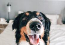 cani rilevano covid-19 con l'olfatto