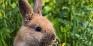 il-coniglio-può-prendere-le-zecche
