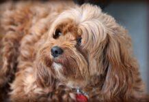 ipotiroidismo-nel-cane