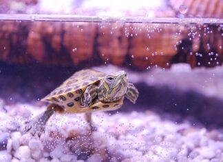 tartaruga ha gli occhi gonfi