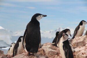 colonie-di-pinguini-2