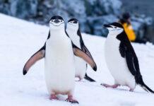 colonie-di-pinguini