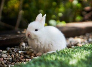 malocclusione nel coniglio
