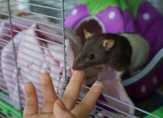 ratto e neoplasie