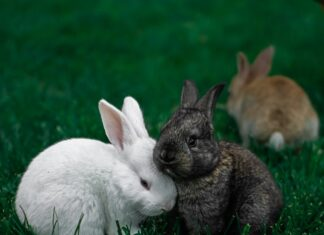 rogna sarcoptica nel coniglio