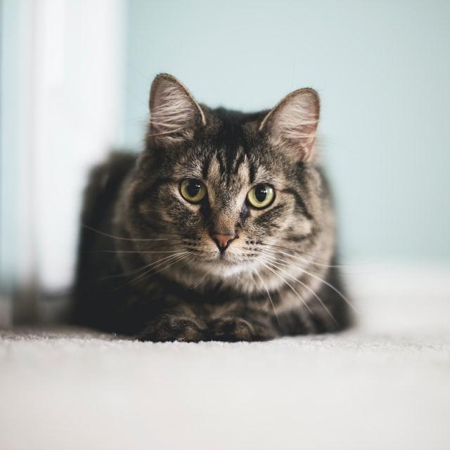 contraccettivi per la gatta