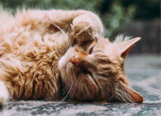 corteggiamento tra gatti
