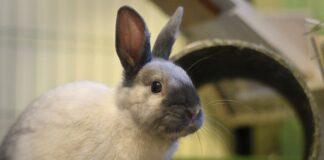il coniglio è maschio o femmina