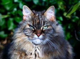 alimentazione-gatto-anziano