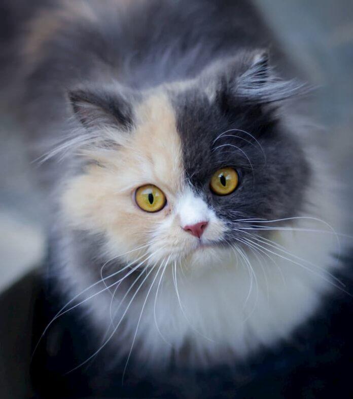 ansia-nel-gatto
