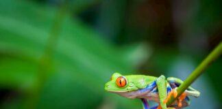 raganella-occhi-rossi