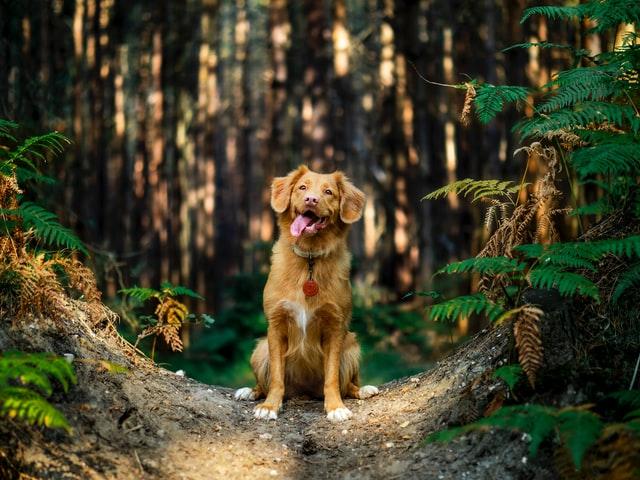 amanita muscaria cane