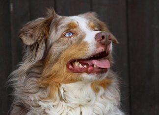dpcm cane veterinario