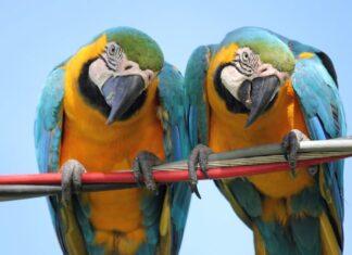 pappagalli-imparano-parlare