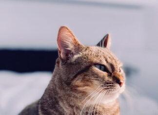 gatto-schizzinoso-con-il-cibo