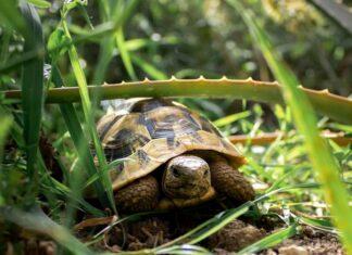 tartarughe hanno le orecchie