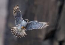 falco-nella-storia