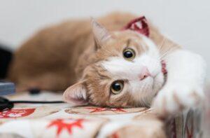 gruppi sanguigni del gatto
