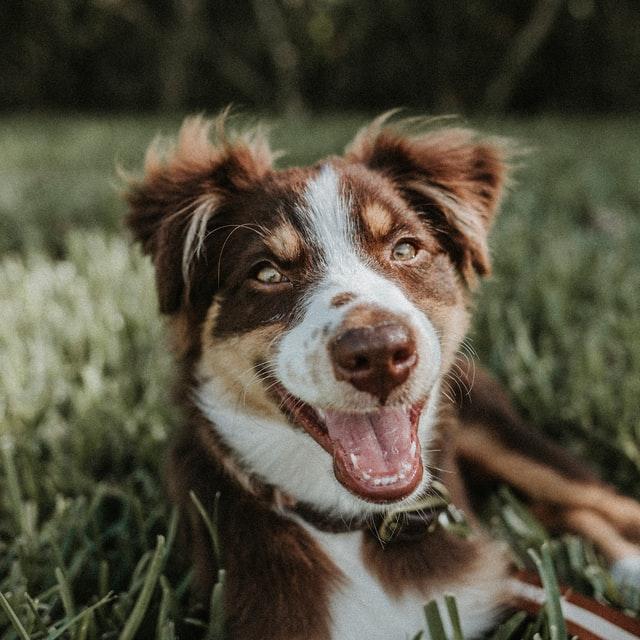 cane cataratta